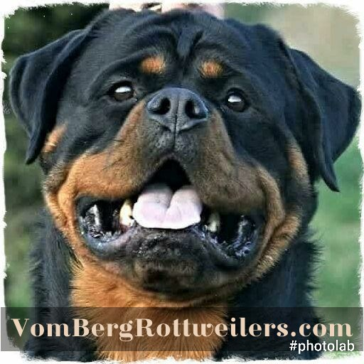 Vom Berg Rottweilers Champion European Stud Dog And Puppies For Sale