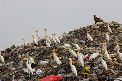 Birds Are Becoming Totally Dependent On Our Delicious Landfills