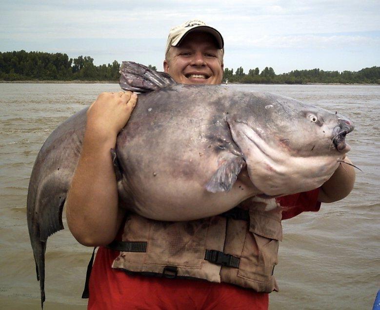 85 lb Mississippi River Blue Catfish